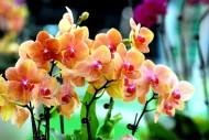 蝴蝶蘭花卉圖片_12張