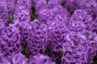 紫色風信子圖片_8張