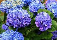 蓝色绣球花图片_16张