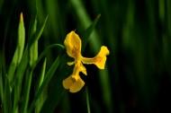黃色鳶尾花圖片_5張