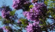紫色浪漫的藍花楹圖片_6張