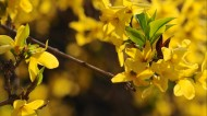 黃色迎春花圖片_10張