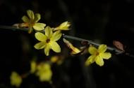 光影下的迎春花圖片_10張