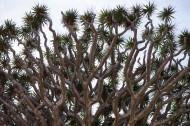 加那利岛龙树图片_10张