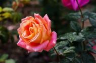 娇艳的玫瑰花图片_16张