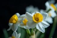 潔白的水仙花圖片_7張