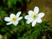洁白的银莲花图片_25张
