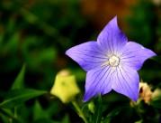 紫色神秘的桔梗花圖片_9張