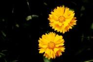 黄色金鸡菊图片_10张