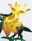 金色百合花朵图片_2张