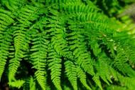 蕨类植物图片_10张