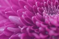 漂亮的紫色菊花微距图片_10张