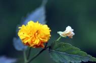 黃色高貴的棣棠花圖片_14張