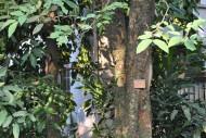 腊肠树-植物图片_6张