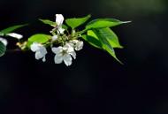 白色梨花圖片_9張