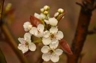 潔白如雪的梨花圖片_24張