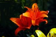 各种颜色的百合花图片_12张