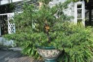羅漢松植物圖片_3張