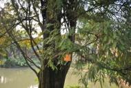 落羽杉植物圖片_5張