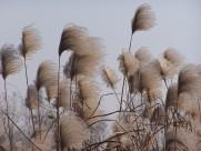 漂亮的芦苇丛图片_13张