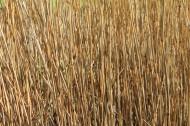 冬季蕭瑟的蘆葦圖片_13張