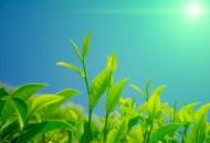 绿色茶叶植物图片_17张