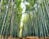 挺拔结实的竹子图片_12张