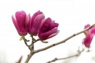紫玉兰花卉图片_8张