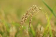 成熟的麦子图片_32张