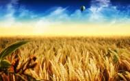 金灿灿的麦子图片_26张