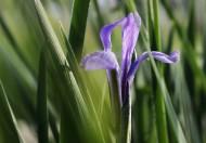 神秘的馬蘭花卉圖片_5張