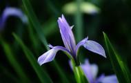 紫色马兰花图片_10张