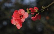 白色海棠花图片_6张