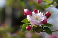 粉色海棠花圖片_12張