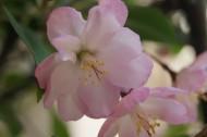 海棠花卉图片_12张