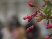 海棠花卉圖片_5張