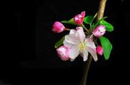 黑色背景下的海棠花图片_7张