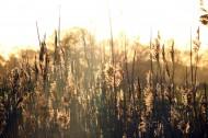 茂密的蘆葦圖片_16張