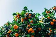 茂盛的橘树图片_9张