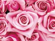玫瑰与玫瑰花瓣图片_21张