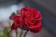 艳丽的红玫瑰图片_17张