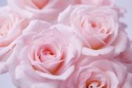 玫瑰花圖片_51張