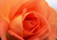 玫瑰花卉图片_20张