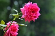 玫瑰花图片_9张