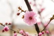 春天鲜艳的梅花图片_18张