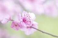 淡粉色梅花图片_8张