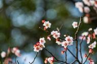 热闹开放的梅花图片_12张