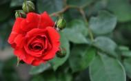 美丽的玫瑰花图片_22张