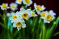 美麗的水仙花圖片_5張
