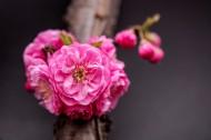 美丽的桃花图片_16张